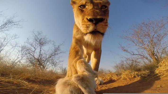 Esto es lo que pasa cuando una leona te roba la Go Pro