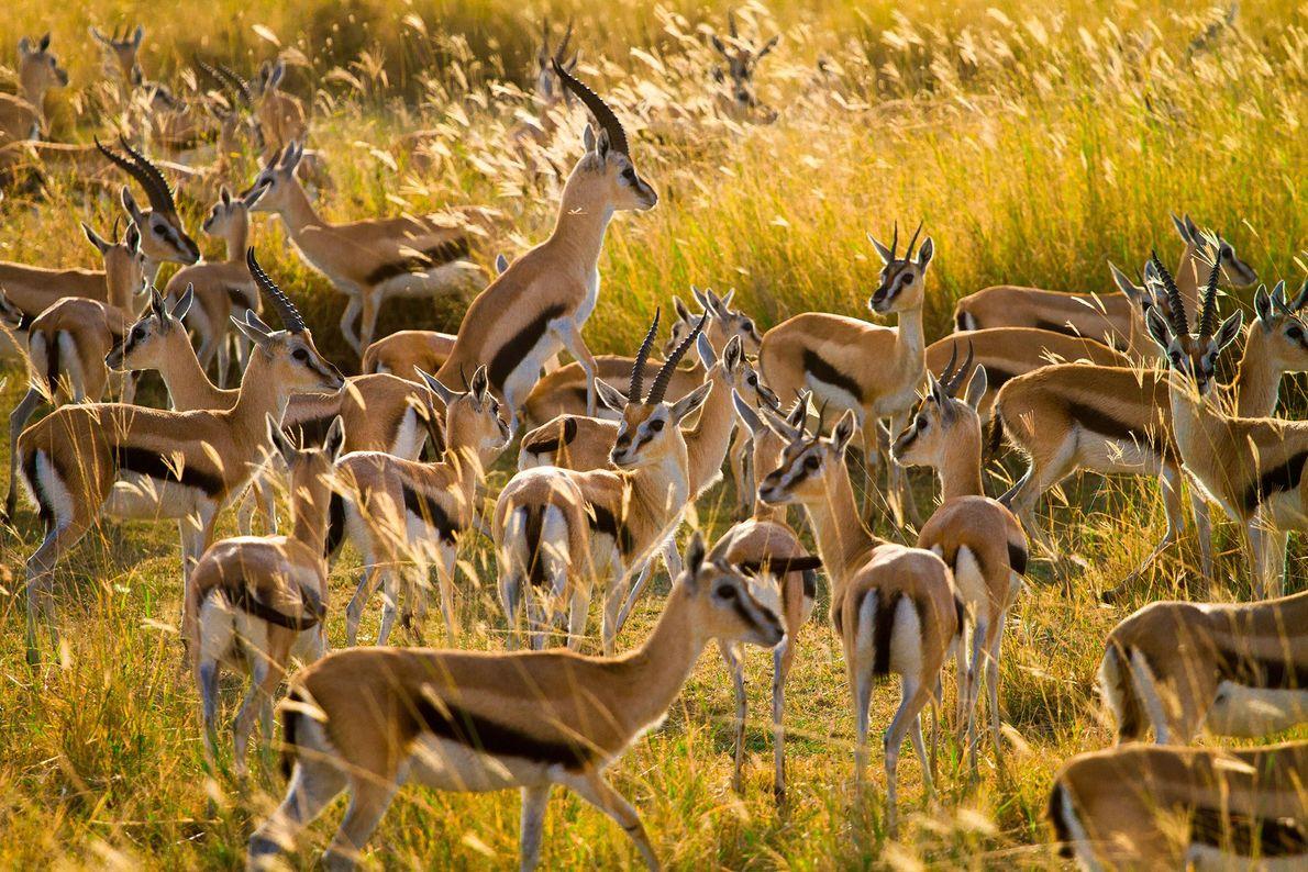 Foto de gacelas Thomson en Tanzania.