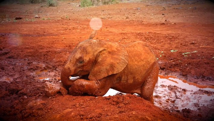 Una cría de elefante casi pierde su trompa en la trampa de un cazador furtivo