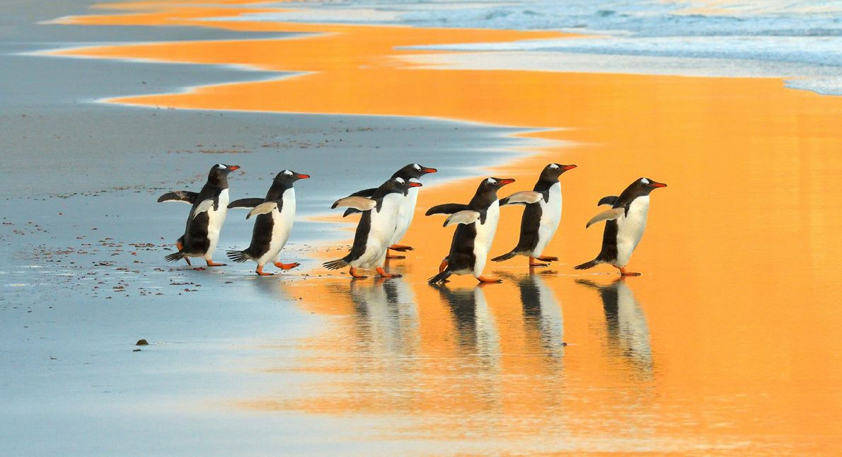 Imagen de pingüinos juanito en las Islas Malvinas.