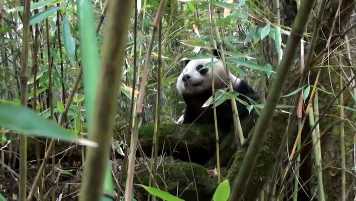 Esta panda nacida en cautividad se abre camino en la naturaleza