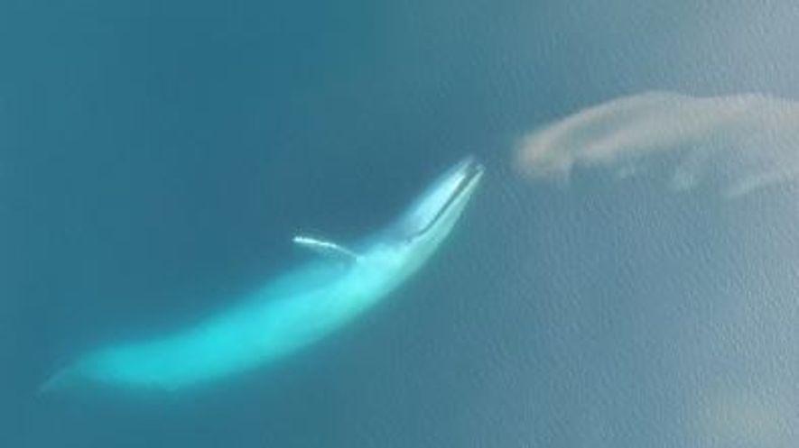 Un dron graba a una ballena azul alimentándose