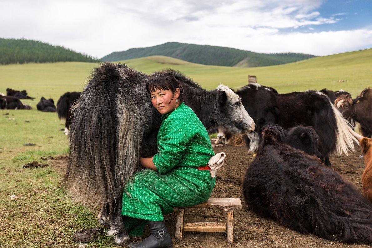 Imagen de una mongola ordeñando a un yak