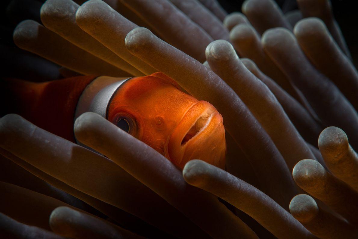 Imagen de un pez payaso en una anémona.