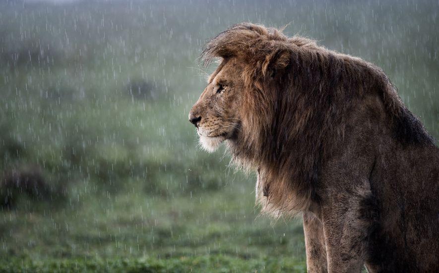Imagen de un león africano bajo la lluvia