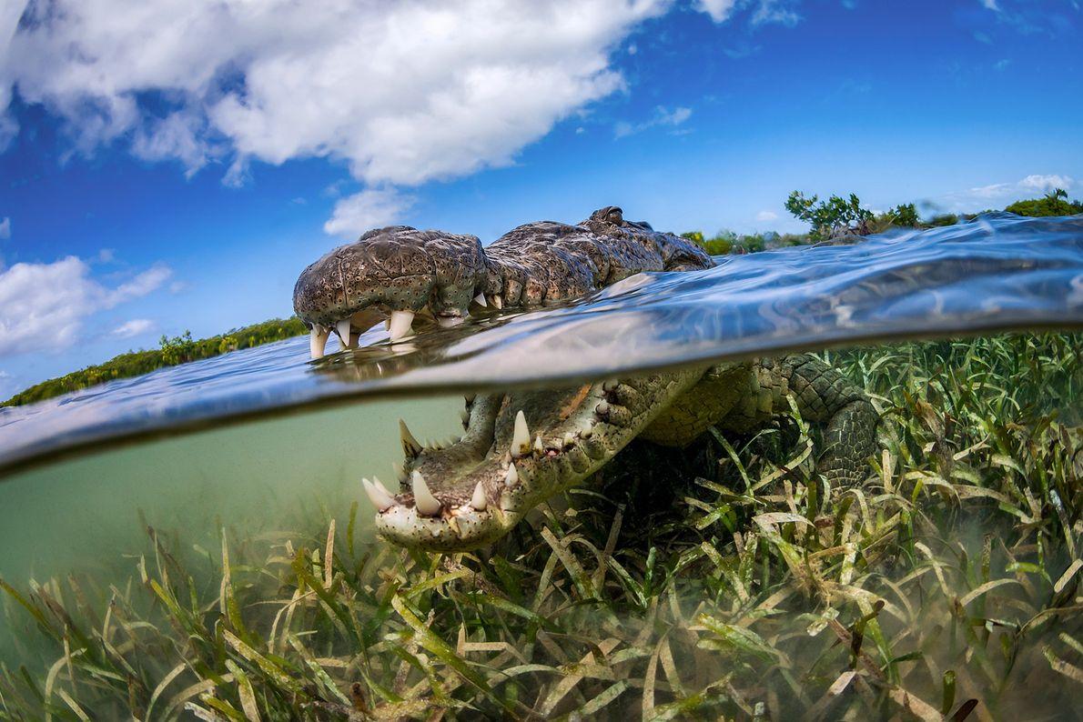 Imagen de un cocodrilo en Cuba