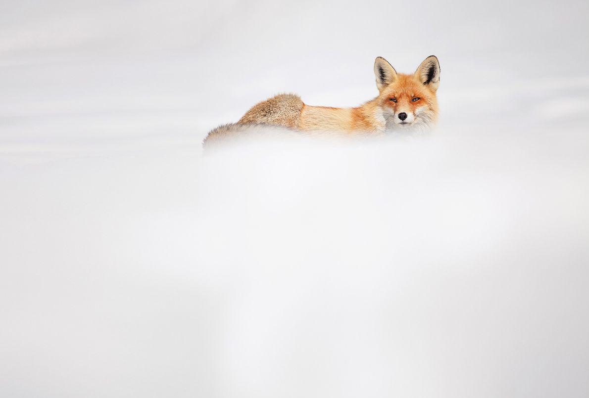 Imagen de un zorro en la nieve
