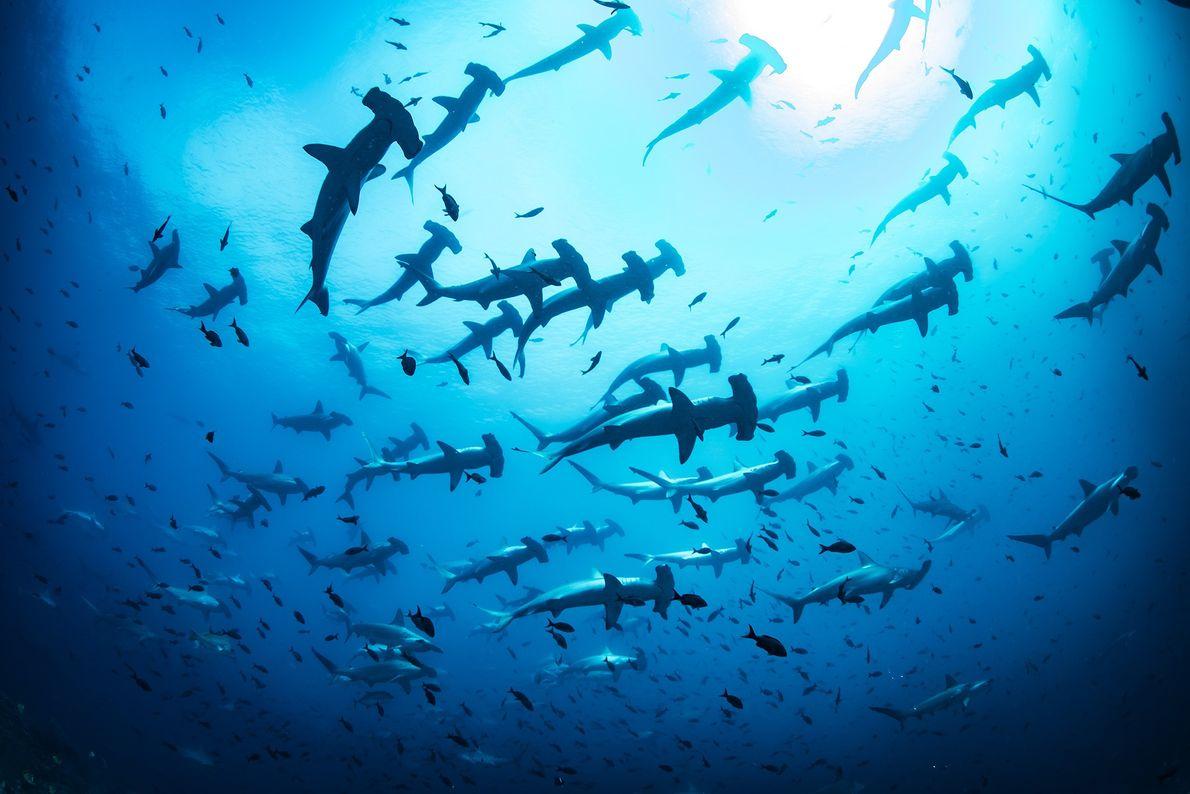 Imagen de tiburones martillo en Galápagos