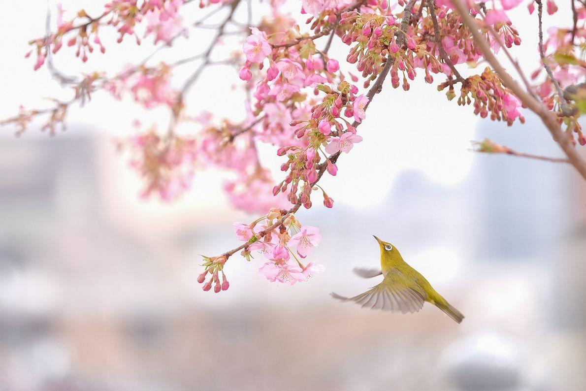 Imagen de un pájaro en un cerezo japonés