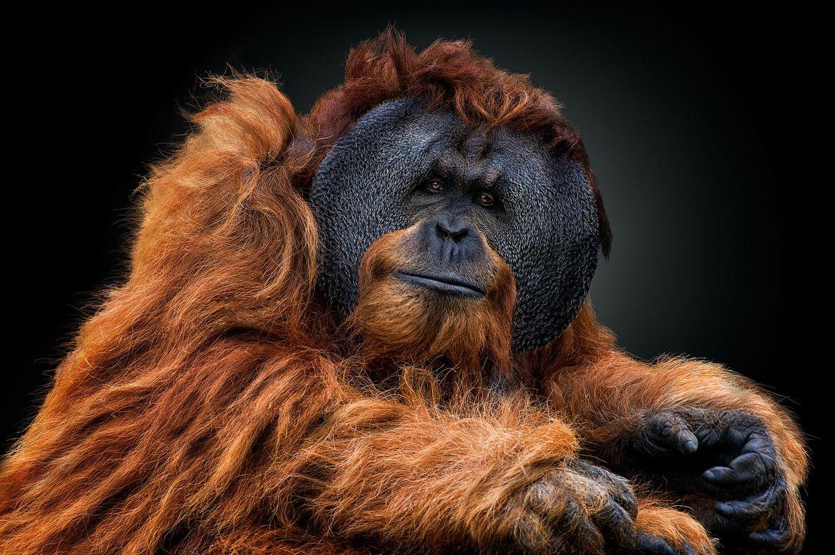 Imagen de un orangután macho