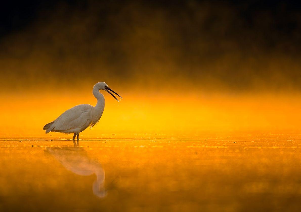 Imagen de una garceta al amanecer