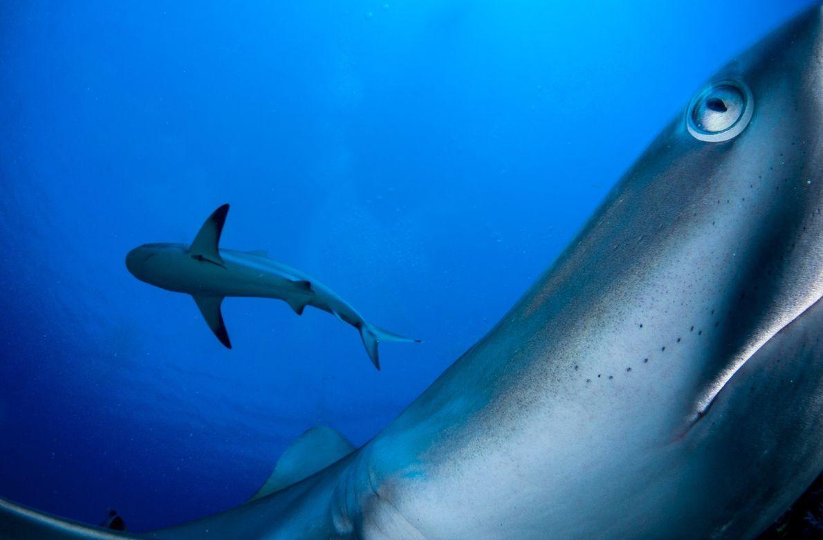 Tiburones de arrecife del Caribe