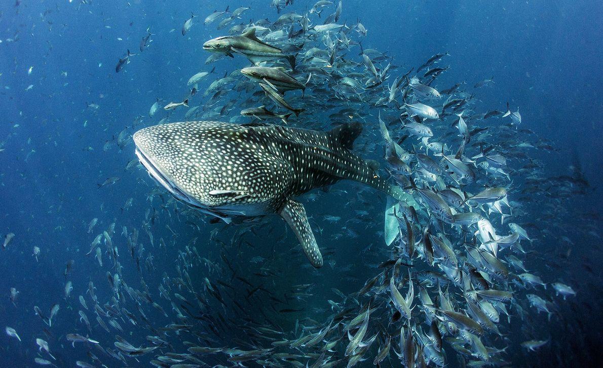 Imagen de un tiburón ballena nadando a través de un banco de peces