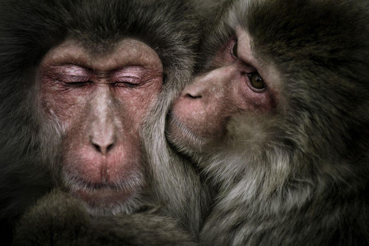 Foto de dos macacos acurrucándose en Japón
