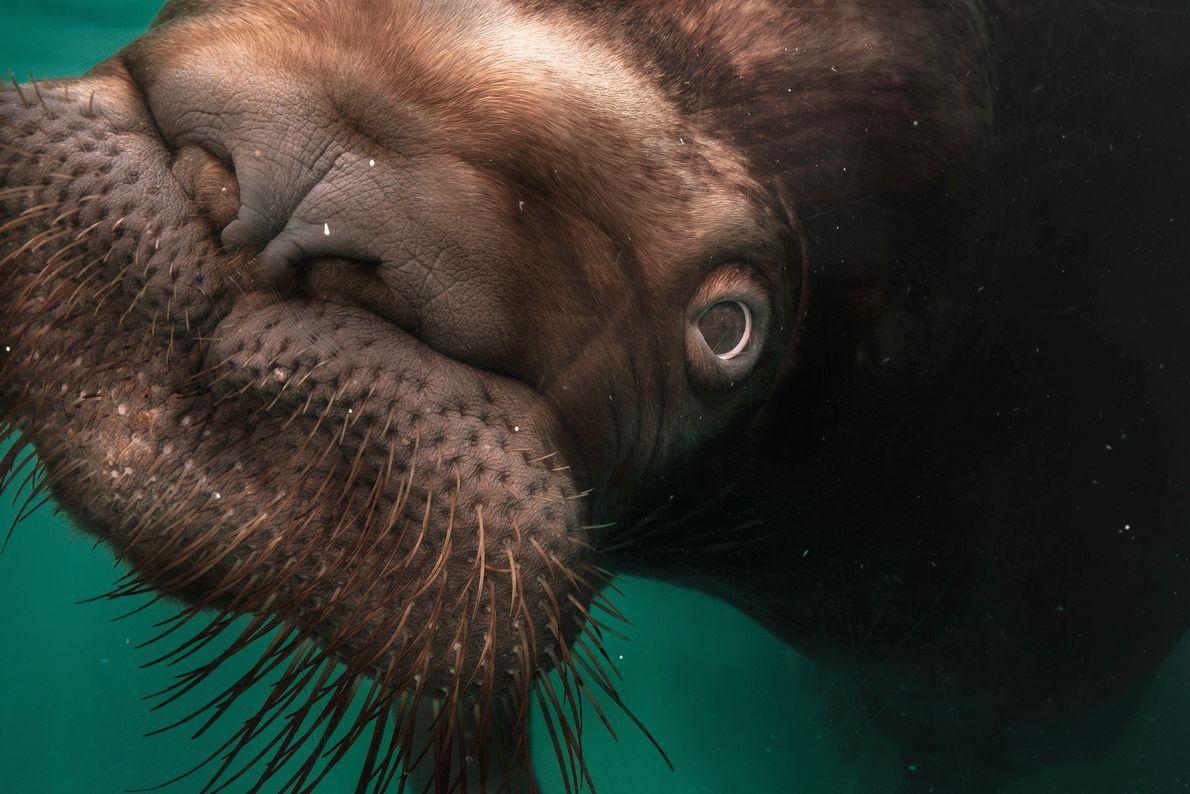 Imagen de una morsa en un acuario japonés