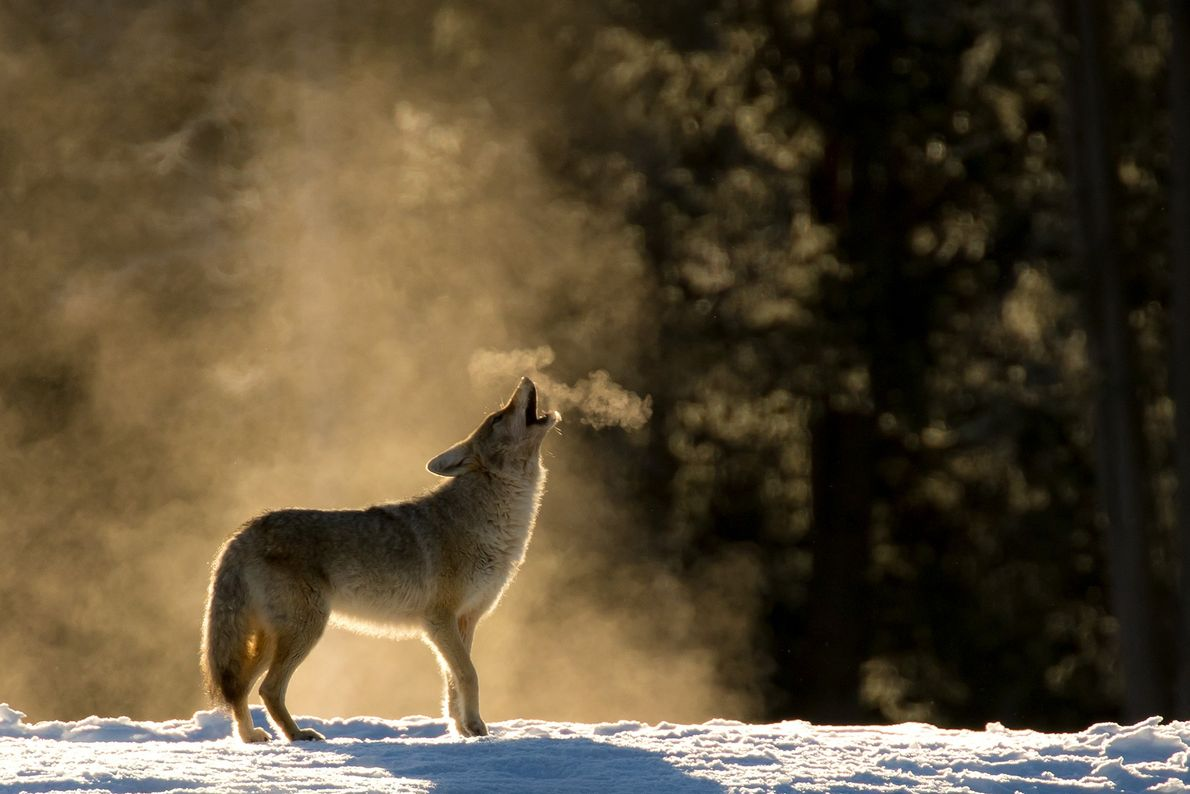 Foto de un coyote aullando en el Parque Nacional de Yellowstone