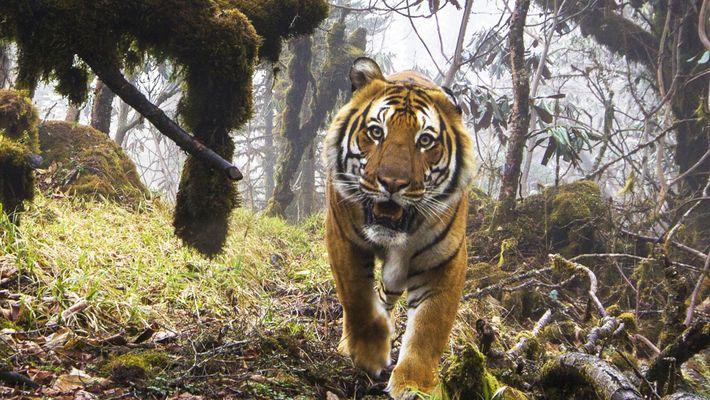 Tigres salvajes en Bután: una aparición inusual