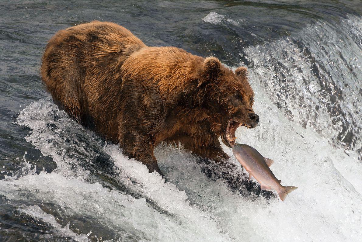 Imagen de un salmón siendo atrapado por un oso en Alaska