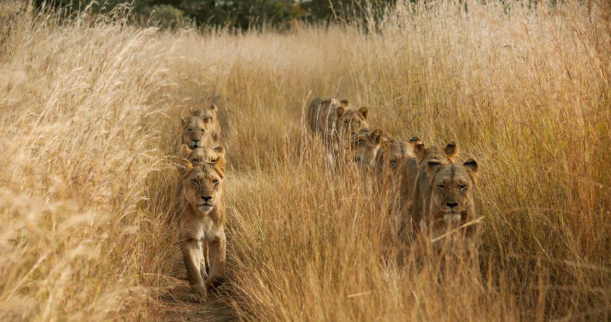 Foto de leones caminando en dos filas a través de la hierba en Zambia