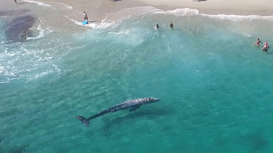 Una joven ballena gris nada junto a los bañistas en California