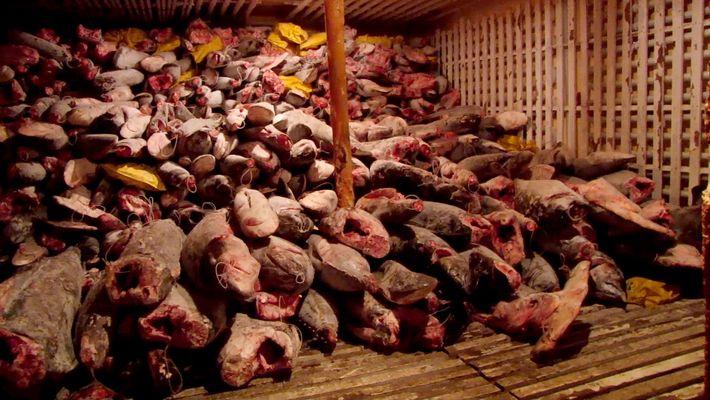 Miles de tiburones descubiertos en la bodega de un barco chino
