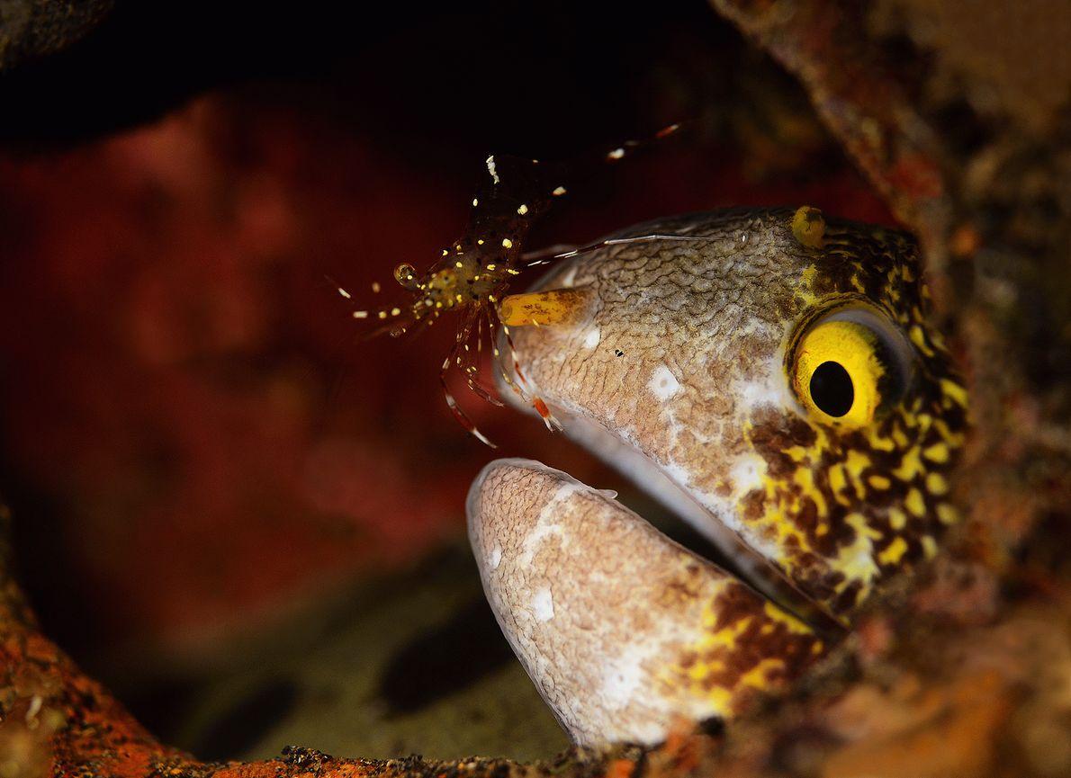 Imagen de un camarón y una morena