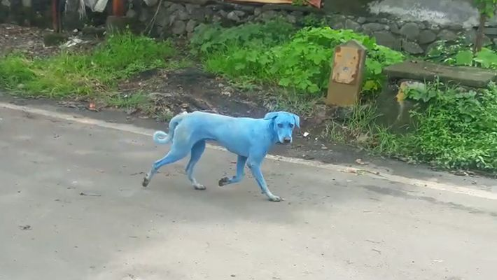 Perros azules en la India: ¿qué provoca su inusual color?