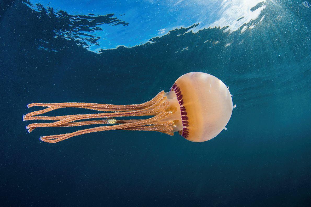 Foto de un pez nadando entre los tentáculos de una medusa