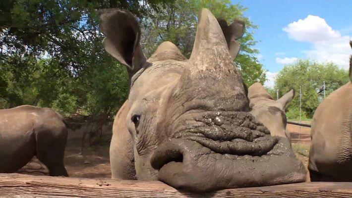 ¿Por qué este empresario quiere vender cuernos de rinoceronte para salvarlos?