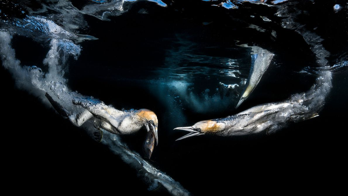 Imagen de dos alcatraces pescando caballas