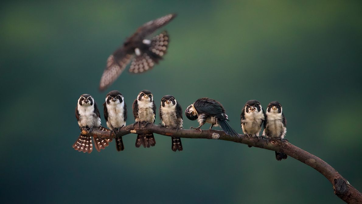 Foto de falconetes píos en la rama de un árbol