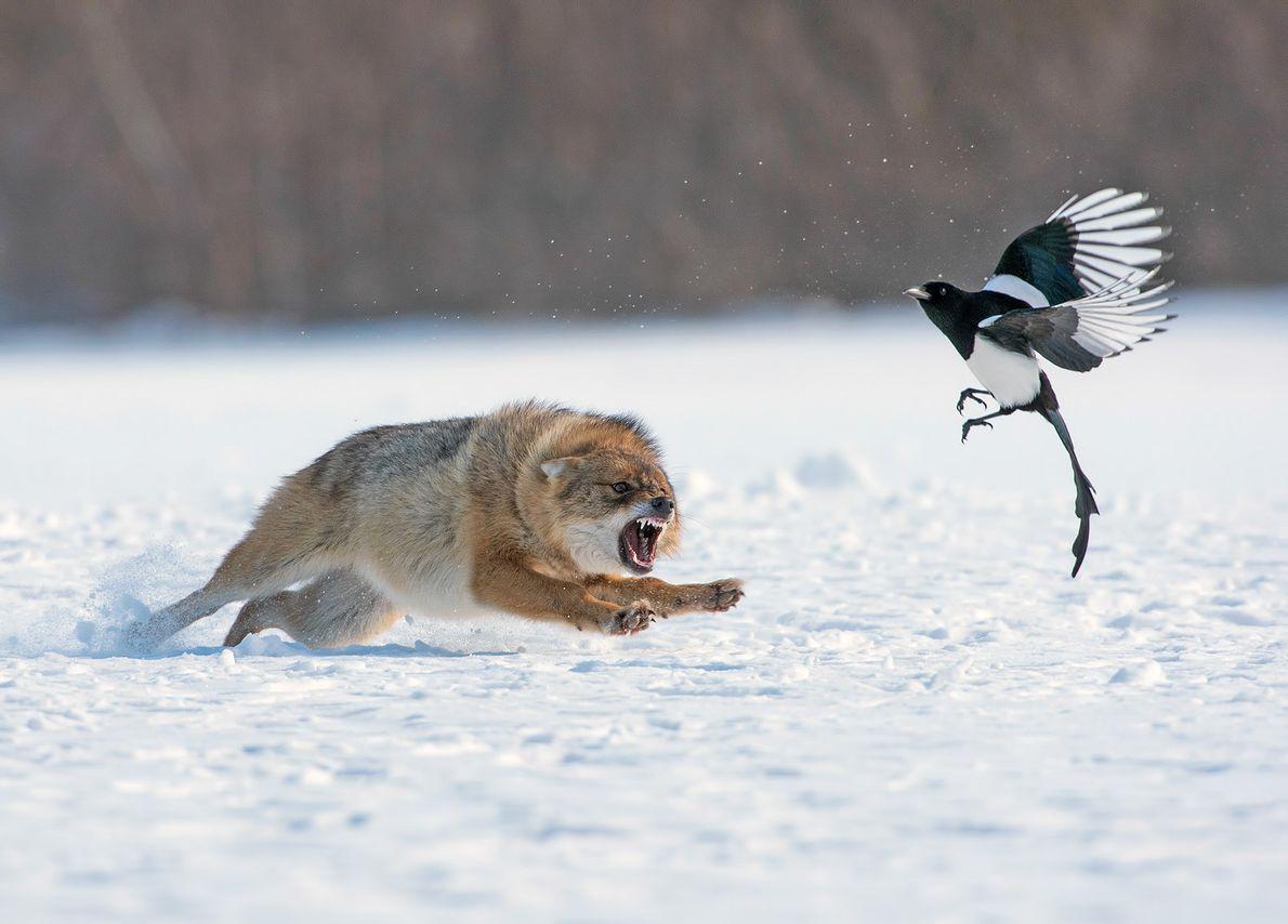 Foto de un chacal persiguiendo a un pájaro en la nieve