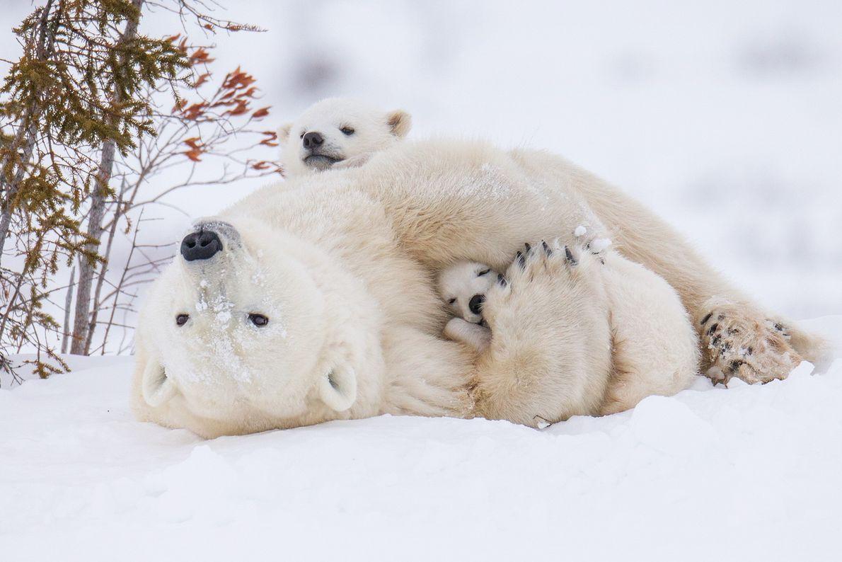 Imagen de un oso polar y dos cachorros jugando en la nieve