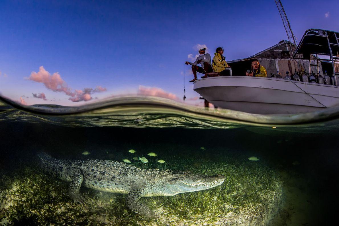 Imagen de un cocodrilo americano bajo un barco