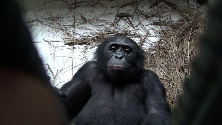 Los bonobos son capaces de mostrar empatía y ayudar a los desconocidos