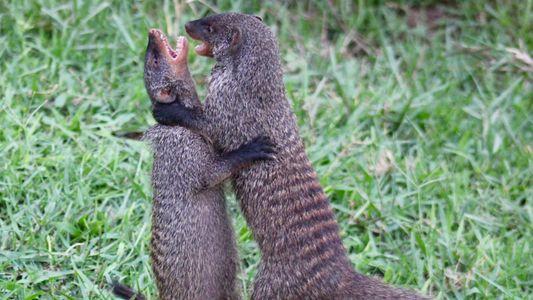 Las mangostas hembra expulsan a otras para que sus crías tengan más probabilidades de sobrevivir