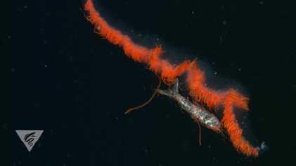 30 años de grabaciones submarinas revelan los hábitos alimenticios de las criaturas pelágicas