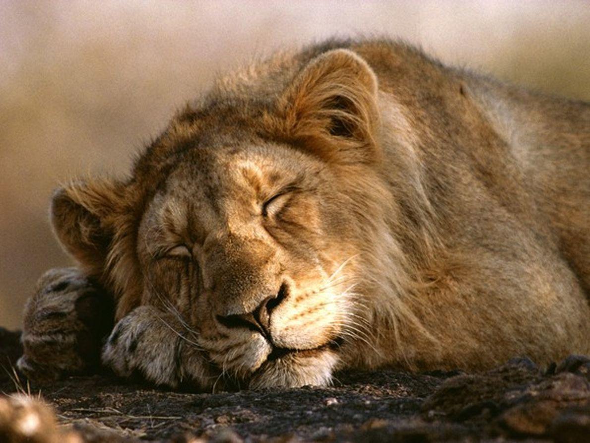 León Asiático en el bosque Gir