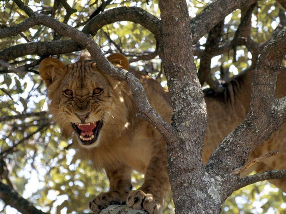 Una leona africana, recién levantada de la siesta, ruge desde un árbol cercano al río Zambezi.