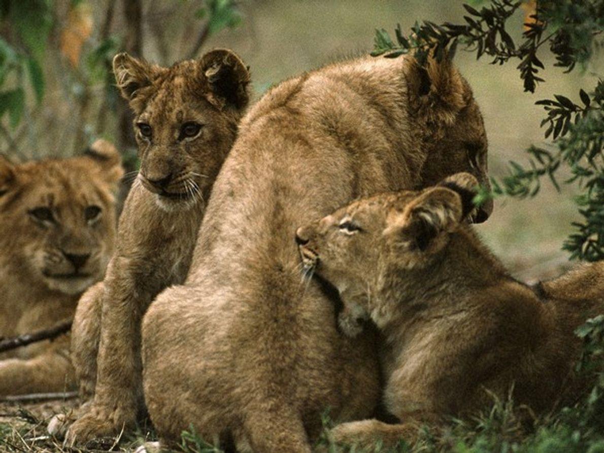 Los cachorros permanencen con sus madres hasta 3 años. despues de esto las hembras se quedan …