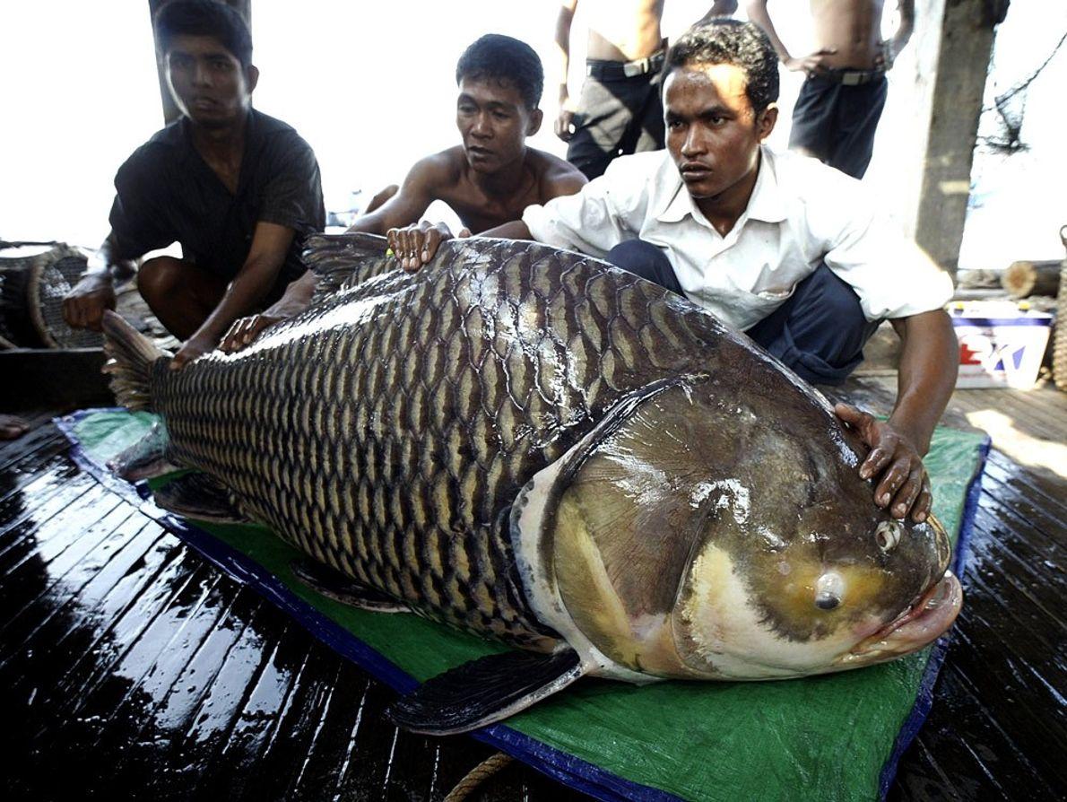 Carpa gigante, Camboya