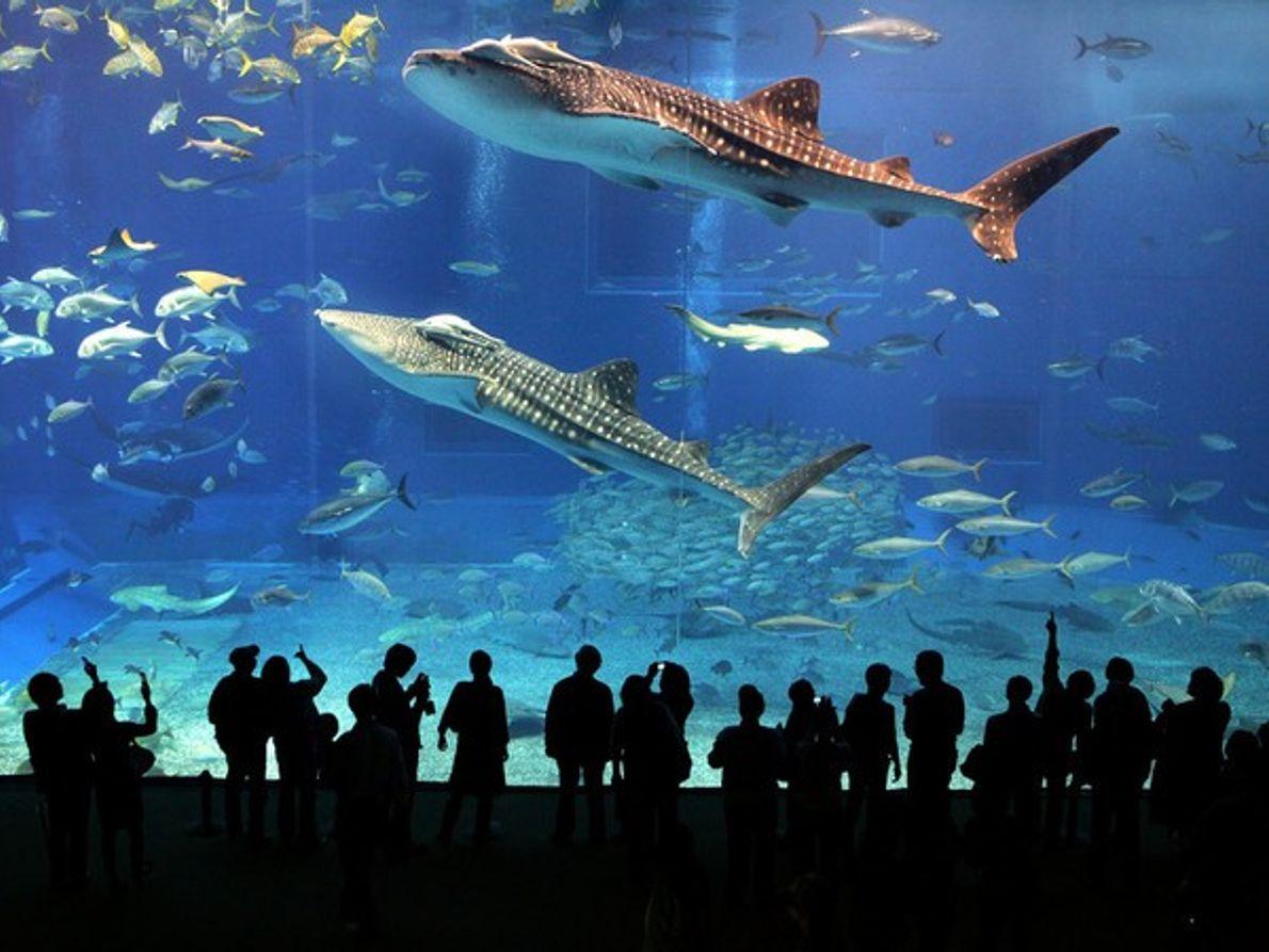 ¿Dónde podemos ver tiburones ballena?