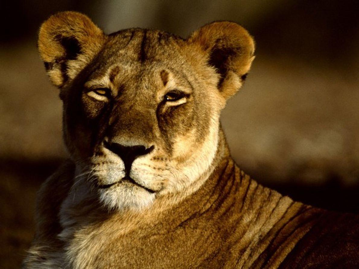 Las leonas se encargan de cazar para la manada y trabajan juntas para cazar animales corredores …