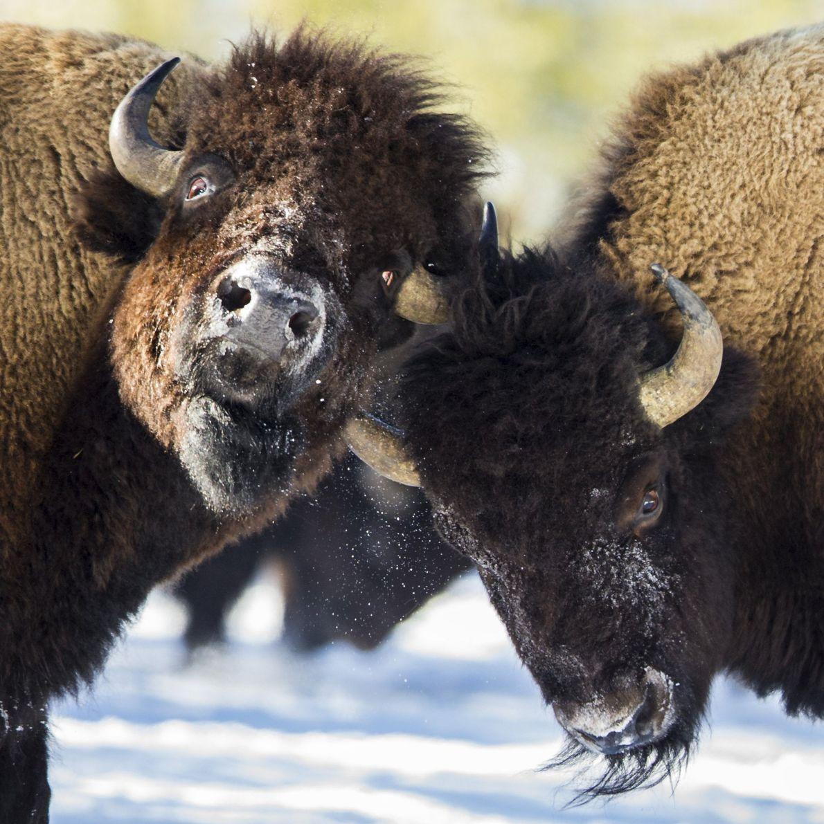 Dos bisontes
