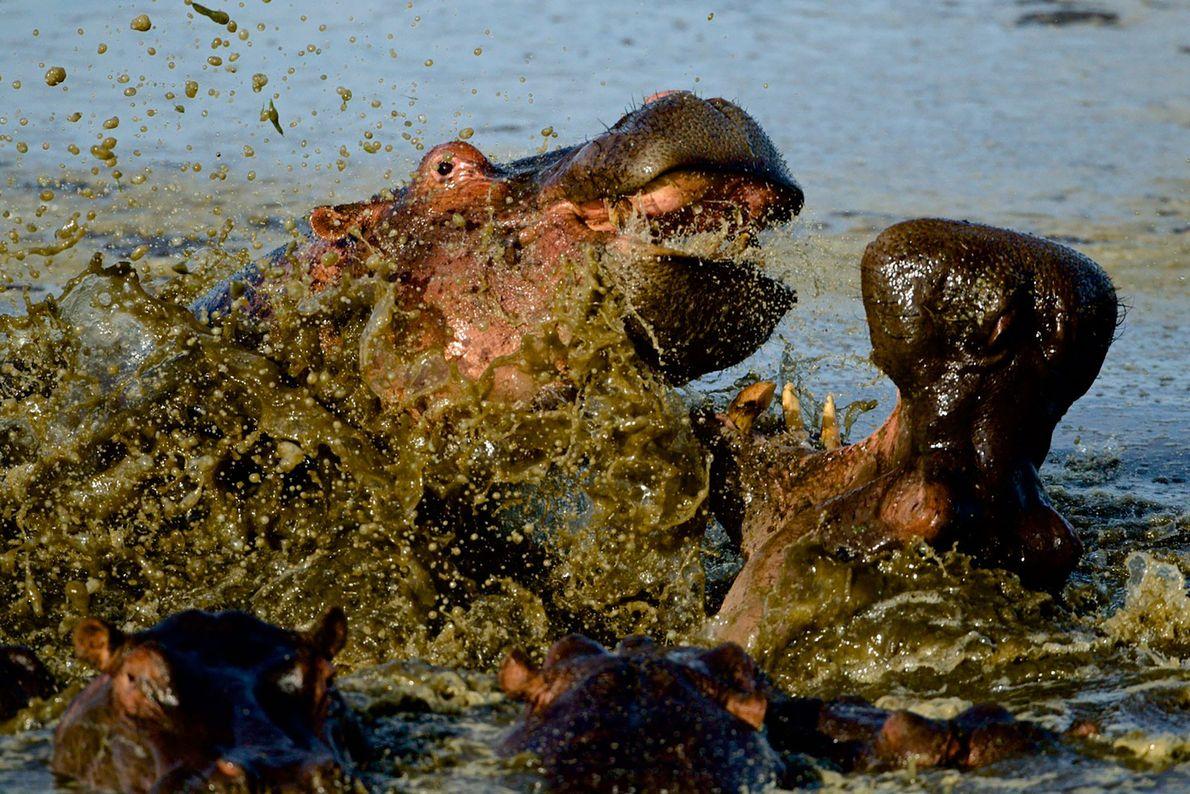 Hippos brawl in Masai Mara, Kenya.