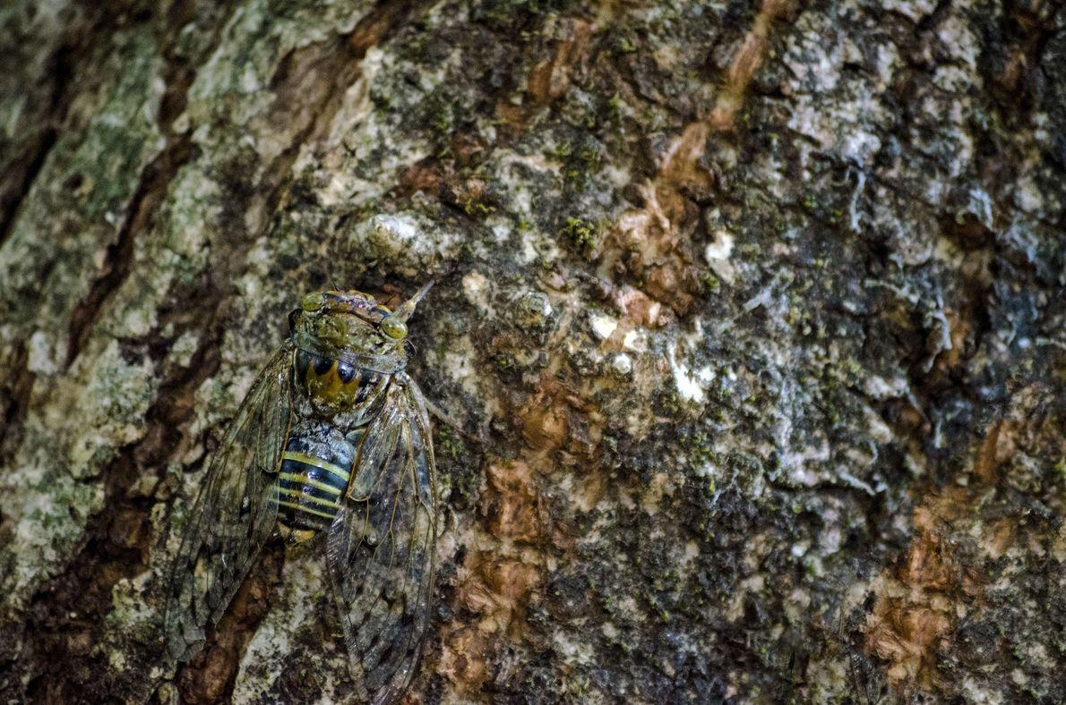 Cicada. Phonda, Maharashtra, India
