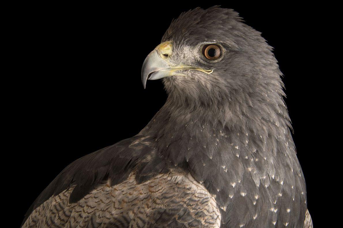 Un águila mora