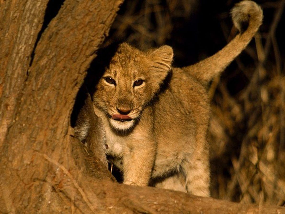 Debido a su expansión por el sur de Asia y el medio Este, los leones asiáticos …