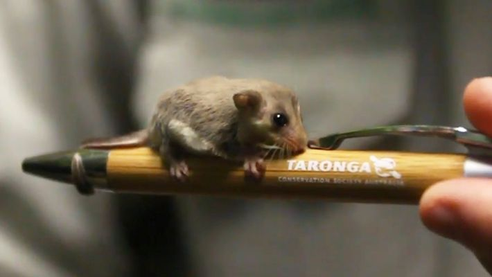 Nacen 20 pósums pigmeos acróbatas en un zoo de Australia