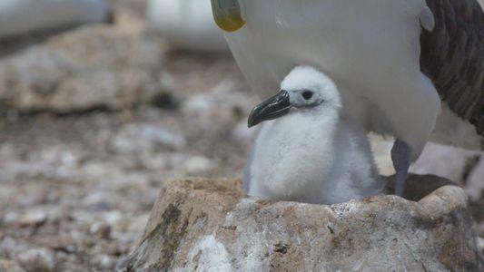 Estos nidos artificiales ayudan a los albatros a luchar contra el cambio climático